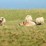 Galowayrinder auf Helgoland