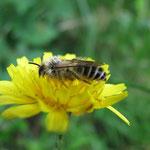 Gewöhnliche Seidenbiene