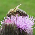 Die Honigbiene - Sie ist mit zahlreichen Rassen vertreten -