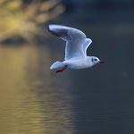 mouette rieuse