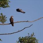 bondrée apivore & pigeon ramier