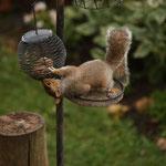 Ein Eichhörnhen dirket unterhalb unseres Hotelfensters in Clevedon