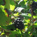 Pinot Meunier: raisin noir à jus blanc. Il se caractérise par sa souplesse. Le vin a de la rondeur, du bouquet et vieillit plus rapidement.