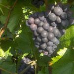 Pinot Noir: raisin noir à jus blanc. Il apporte des arômes de fruits rouges et donne naissance à des vins charpentés, puissants, qui se conservent longtemps.