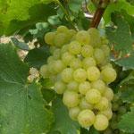 Chardonnay: raisin blanc à jus blanc. Il apporte finesse, vivacité et confère au vin une note florale ainsi qu'une nuance d'agrumes.
