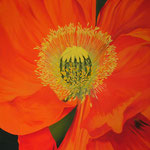 Mohnblüte (Ölfarben), 80x100 cm