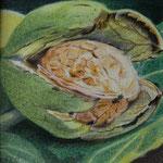Baumnuss (Farbstift), 10 x 10 cm, verkauft