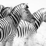 zebra etosha pan namibia