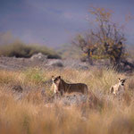 lions palmwag concession namibia