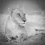lion south luangwa | zambia 2021
