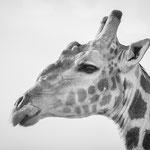 giraffe etosha pan namibia