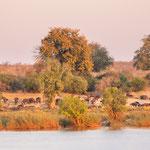 buffalo zambezi | zambia 2021