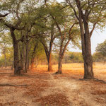 fairytale forest north luangwa | zambia 2021
