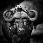 buffalo lower zambesi | zambia 2021