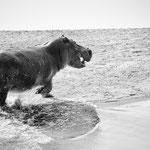 hippo north luangwa | zambia 2021