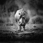 hippo lower zambesi | zambia 2021