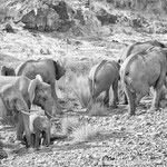 elephants aub canyon palmwag concession namibia