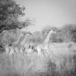 giraffes south luangwa | zambia 2021
