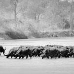 buffalo herd north luangwa | zambia 2021