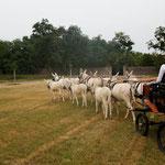 Schloss Hof 2012: Sechspänner mit 3 Fohlen