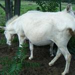tragende Eselstute Csilla
