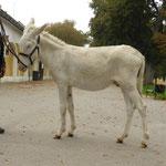 Herbsttagung 2014: Gangl Alois mit einem seiner Eselhengste.