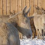 Esel im Schnee in Schloss Hof