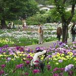 ゴケ曲輪跡の菖蒲園