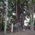 船形麻賀多神社の御神木