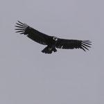 Condor in den Anden