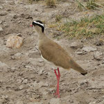 Crowned Lapwing  オウカンゲリ