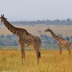 Masai Giraffe マサイキリン