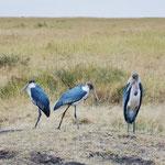 Marabou Stork  アフリカハゲコウ