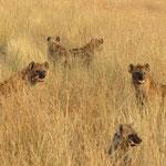 Spotted Hyena ブチハイエナ
