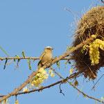 Weaver Bird  ハタオリドリ
