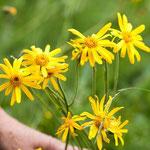 Arnika in voller Blüte