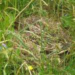 Stockentenbrut GEO-Tag Streuobstwiesen Naturschutzzentrum 31.5.2012