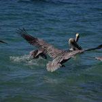 Uns begrüßen Pelikane