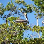 ... und auch jede Menge Pelikane...