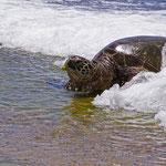 Hawaii die Inseln der Schildkröten und der Gegensätze