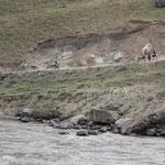 Eselkaravane auf der afghanischen Seite