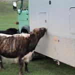 Abends untersuchen Yaks unser Fahrzeug