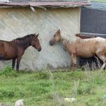 Pferde sind in der Mongolei wie bei uns die Haustier Hund und Katz