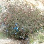ein Busch wird zum Ovoo - einem buddisthischen Wegzeichen