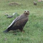 freilebender Adler