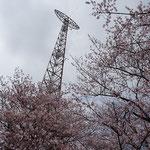 満開のサクラと谷津山の鉄塔