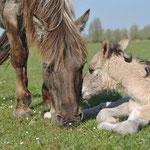 Konikpaard met veulen - NP Lauwersoog