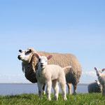 SchapeSchapen - Dijk bij wad boven Uithuizen