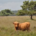 Schotse Hooglander - Dolderse velden...?