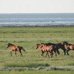 Paarden - Kwelder Den Andel
